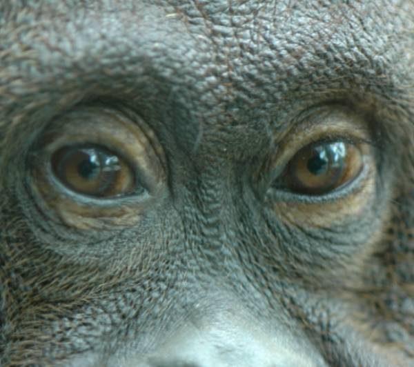 photo de Nenette, orang-outan filmée par Nicolas Philibert